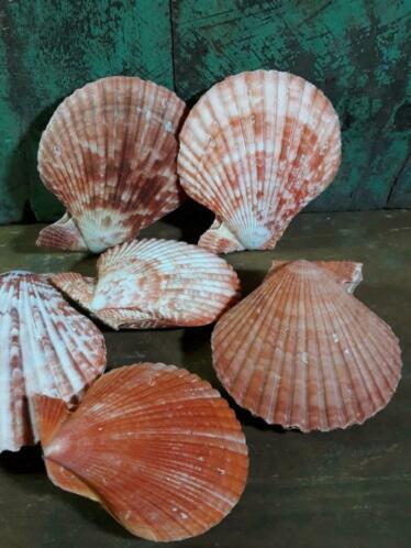 Pecten Nobilis Dubbel Rood Grote Schelp 7-8 cm