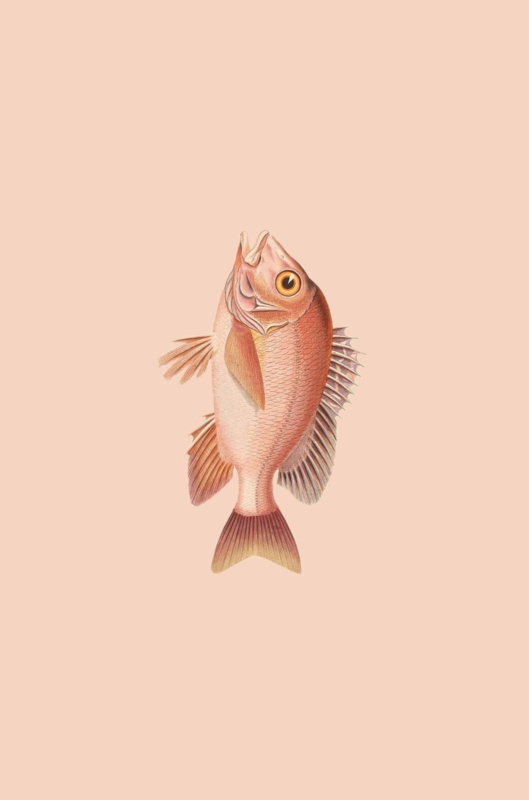 Kaart Ansichtkaart Goudvis - Goldfish