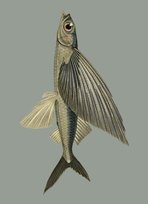 Kaart Ansichtkaart Vliegende Vis - Flying Fish