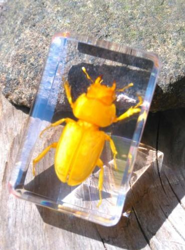 Insect in Hars - Geel Oranje Kever