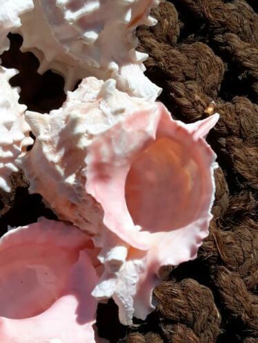 Murex Hexaplex Grote Schelp 9 cm