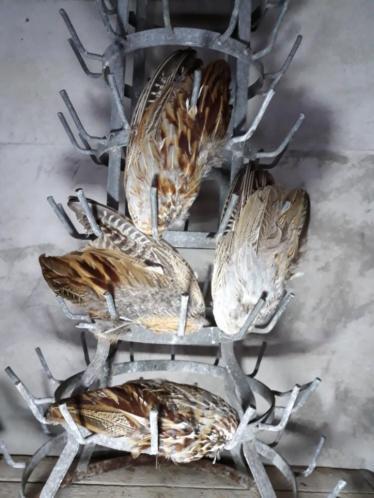 Landelijke Veren Vleugel Fazant Fazantenvleugel Bont
