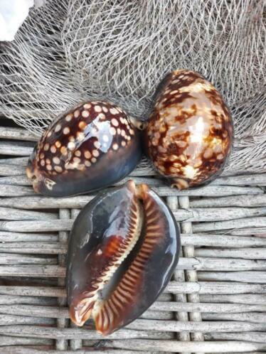 Cyprea Mauretanis Tijgerschelp Schelpen  7-9 cm