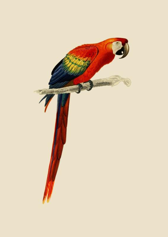 Poster Prent Papegaai Ara - Parrot