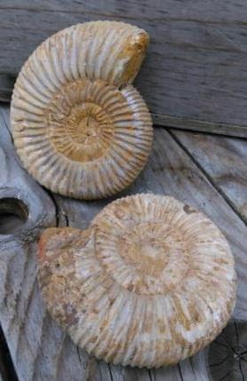 Ruwe Ammoniet Fossiel M