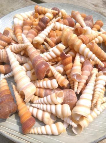 Terebra Turitella Schelpen - 1000 gram 4-8 cm