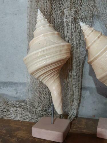 Syrinx Aruanus Grote Schelp 27-29 cm op Eiken Sokkel