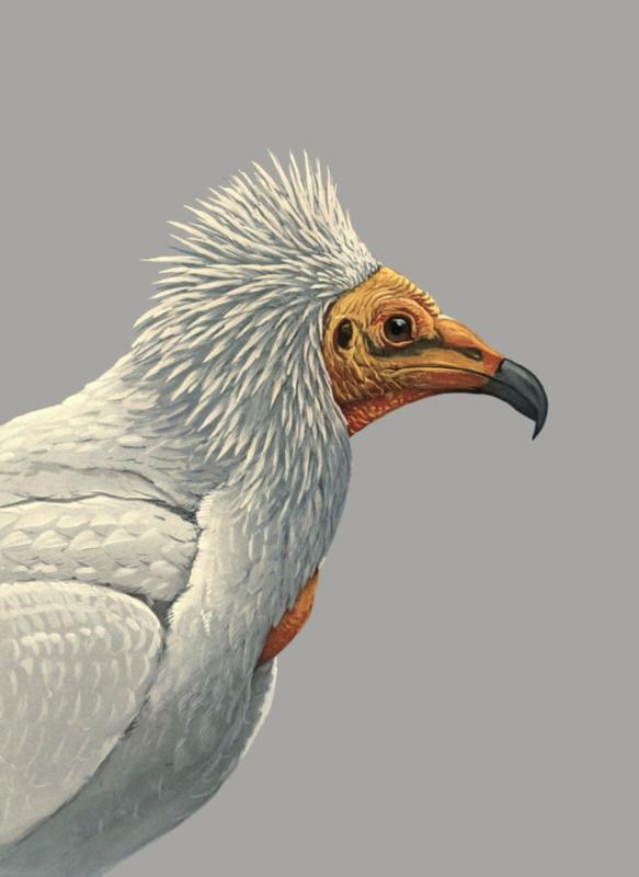 Kaart Ansichtkaart Gier - Vulture
