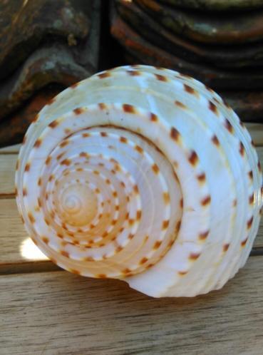 Tonna Naturel 14-17 cm Grote Schelp