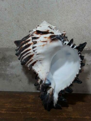 Murex Black Schelp 13-16 cm Schelpen