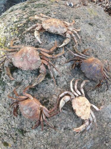 Opgezette Krab -  Krabben 10-14 cm