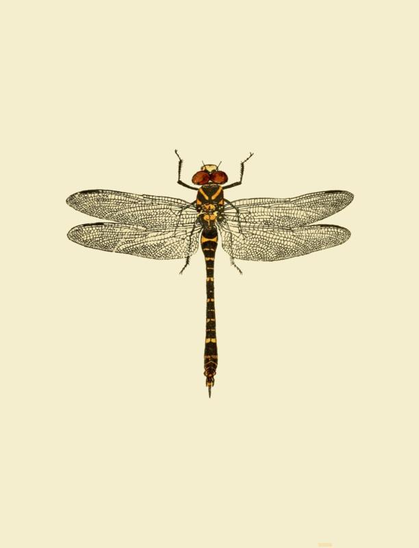 Poster Prent Libelle - Dragonfly