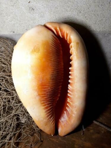 Oude Cassis Rufa Cameeslak Grote Schelp 11.5 cm