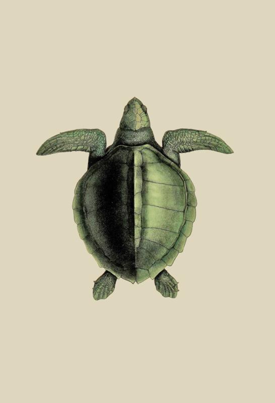 Poster Prent Schildpad - Turtle
