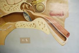 Het oor: Grote vintage schoolplaat. Hagemann, Anatomie van de mens. Retro poster/pulldown chart