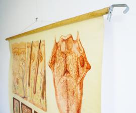 Vintage schoolplaat, anatomie van de mens. Huid en de tong. Retro poster