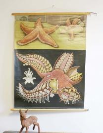 De zeester: Oude schoolplaat . Vintage biologie schoolkaart van Hagemann