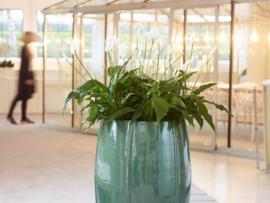 Spattiphyllum vanaf € 5,-
