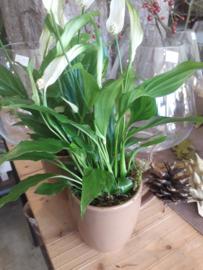 Spattiphyllum  € 2,95