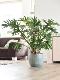 Phlilodendron vanaf € 50,-