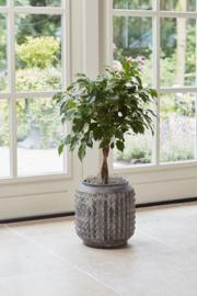 Ficus vanaf € 20,-