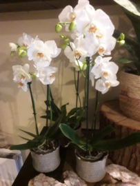 Orchidee wit  € 9,95