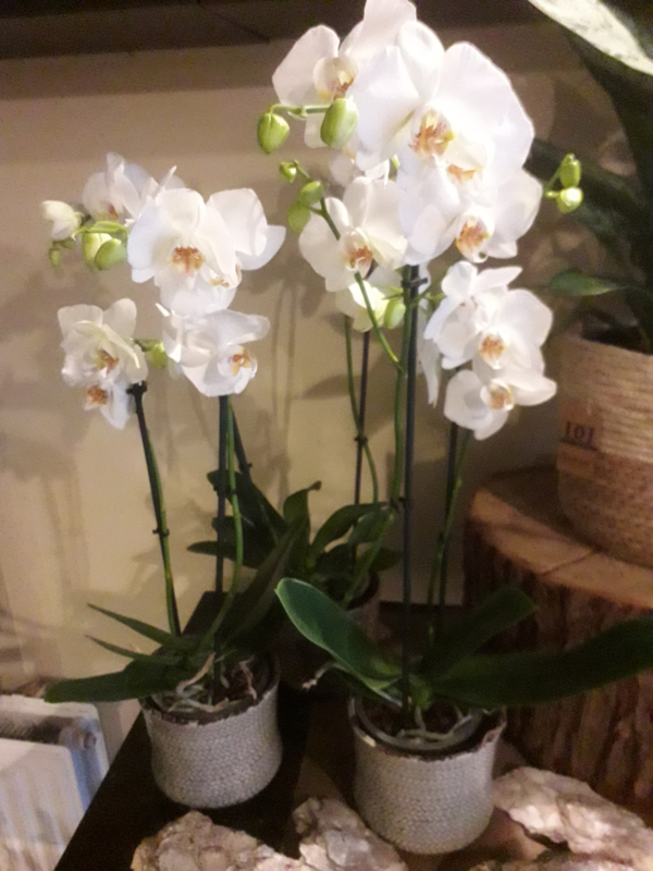 Orchidee wit  divers € 10,-