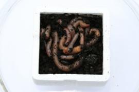 Dauwwormen