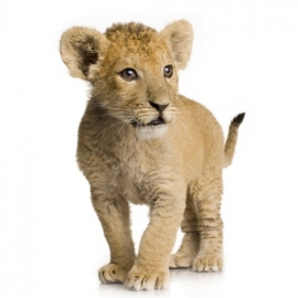 muursticker leeuwen welpje