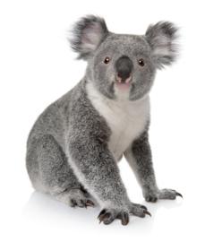 muursticker koala