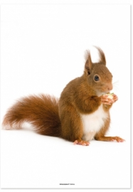 poster eekhoorn