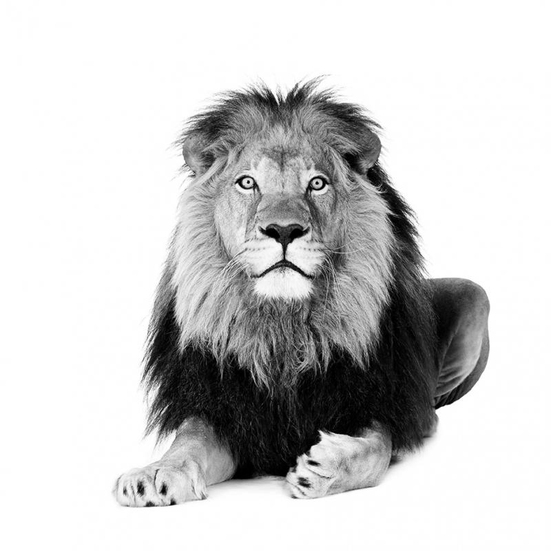 muursticker zwart wit leeuw