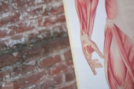 Oude anatomiekaart op statief (136723)