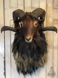 Mooi opgezette schapenkop (141156)