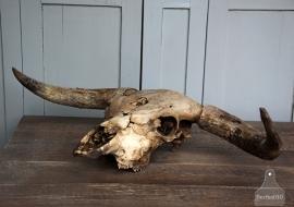 Uniek schedel van een os (131703) verkocht
