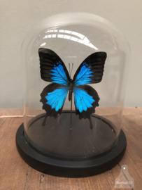 Stolp blauwe vlinder (144734)