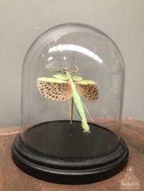 Stolp insect (wandelde tak) (144546)