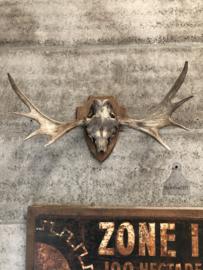Groot oud hertengewei (144665)