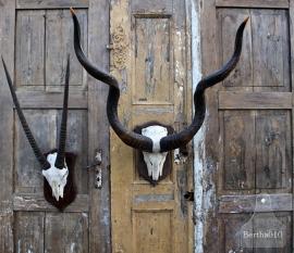 Groot Kudu (Koedoe) gewei (131598) verkocht