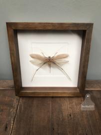 Insect (sprinkhaan) in houten lijst (144542)
