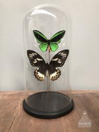 Stolp vlinder man, vrouw (144548)