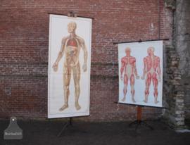 Anatomiekaart op oude statief (136724)