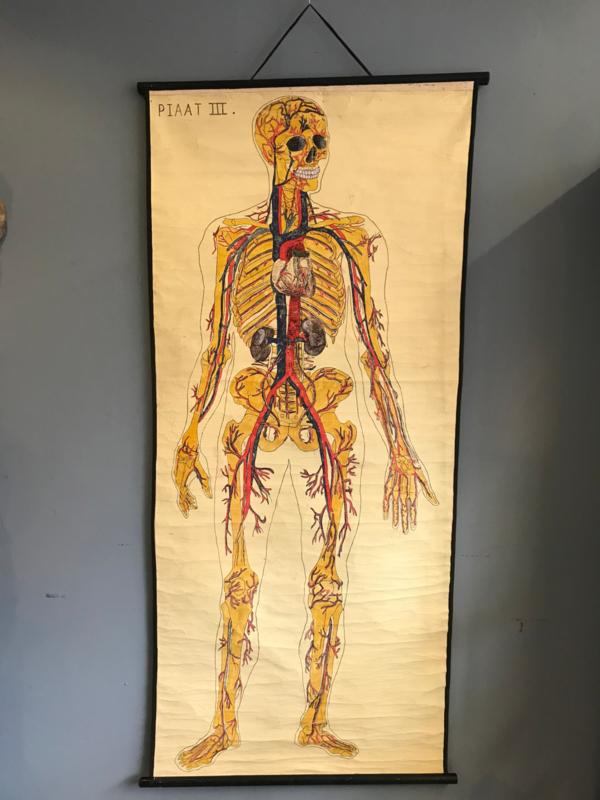 Anatomisch schoolplaat 3