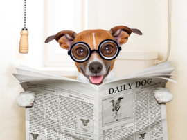 Jack Russel reading news paper