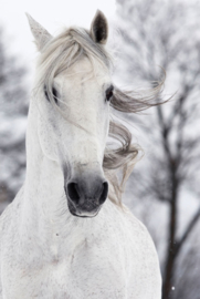 White horse in the wind