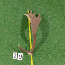 Damhert geweistang 55 cm