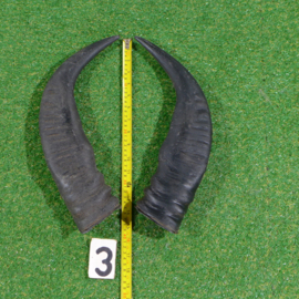 Water buffalo horns (40 cm) pair