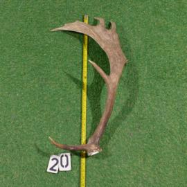 Damhert geweistang (65 cm)