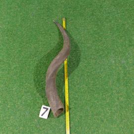 Koedoe hoorn ( 60 cm)