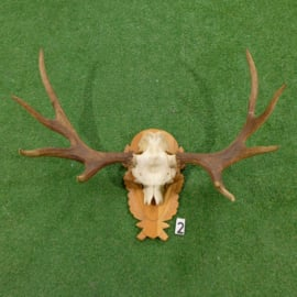 Moose antlers with skull (80 x 110 cm)